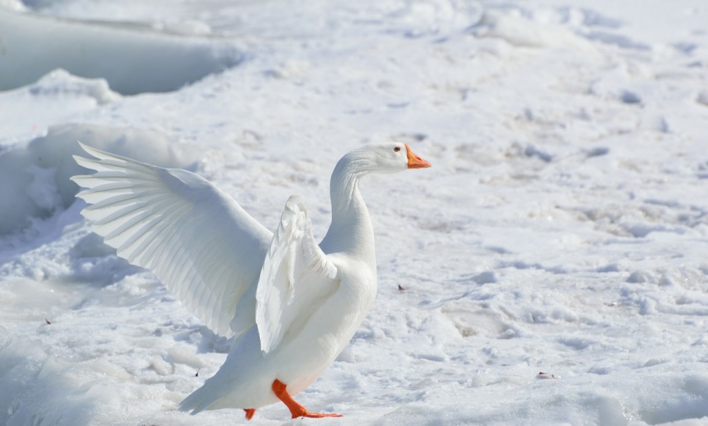 greater-snow-goose-284211_1920