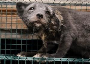 verwahrloster Fuchs in winzigem Käfig