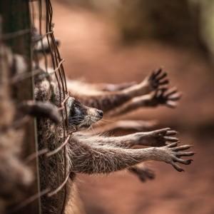 Käfig mit Waschbären, die die Arme verzweifelt ausstrecken