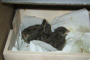 Hilfe für Jungvögel Dresden - Jungvögel in einem Kasten