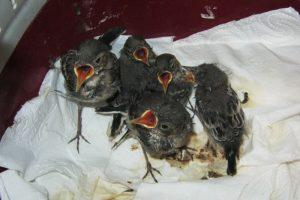 Hilfe für Jungvögel Dresden - gerettete Jungvögel