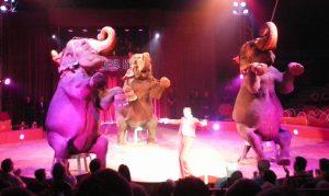 Elefanten in der Vorstellung beim Zirkus - Verbot von Zirkussen mit Wildtieren in Dresden