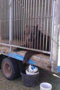 Bär in kleinem Käfig beim Zirkus - Verbot von Zirkussen mit Wildtieren in Dresden