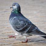 Taubenhilfe Dresden