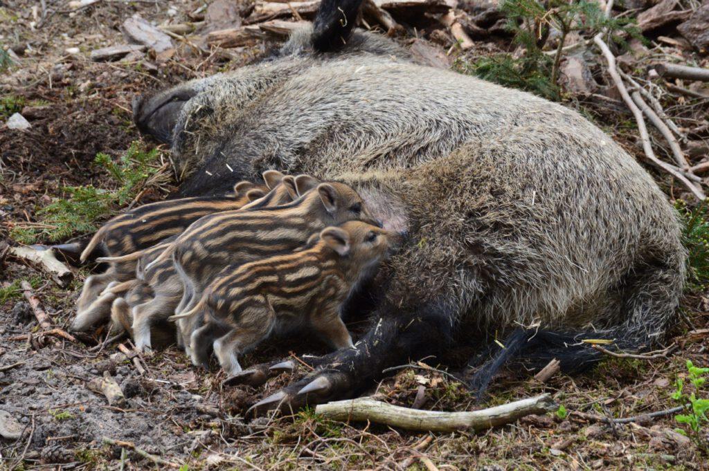 Wildschwein mit Frischlingen