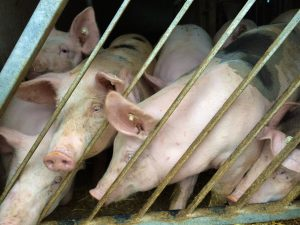 Schweine in der Massentierhaltung