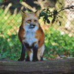 Ein Bild von einem Fuchs