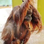 Trauriger Orang-Utan in einem Zoo.